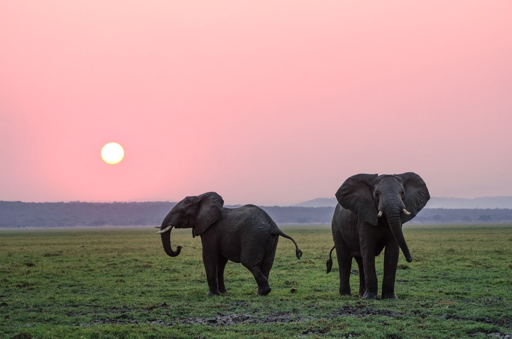 two grey elephants on grass plains during sunset
