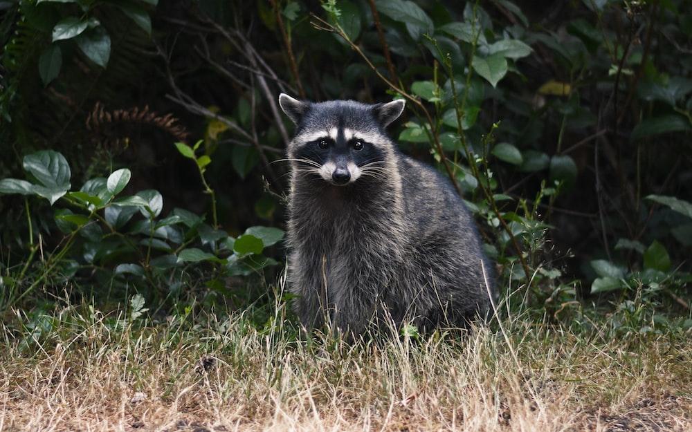 raccoon on grass
