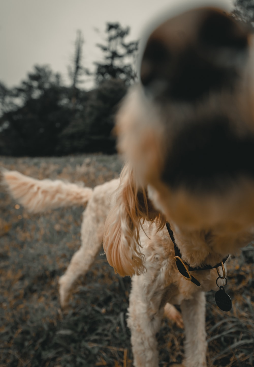 shallow focus photography of short-coated tan dog standing outdoors