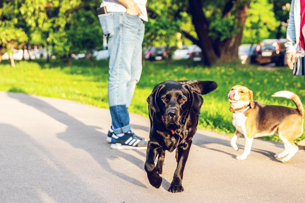 adult black Labrador retriever walking outdoors