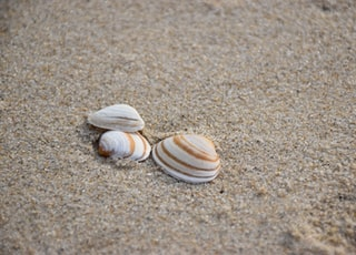 A group of three seashells in the wet sand of Petten beach in the Netherlands on the coast of the North Sea.