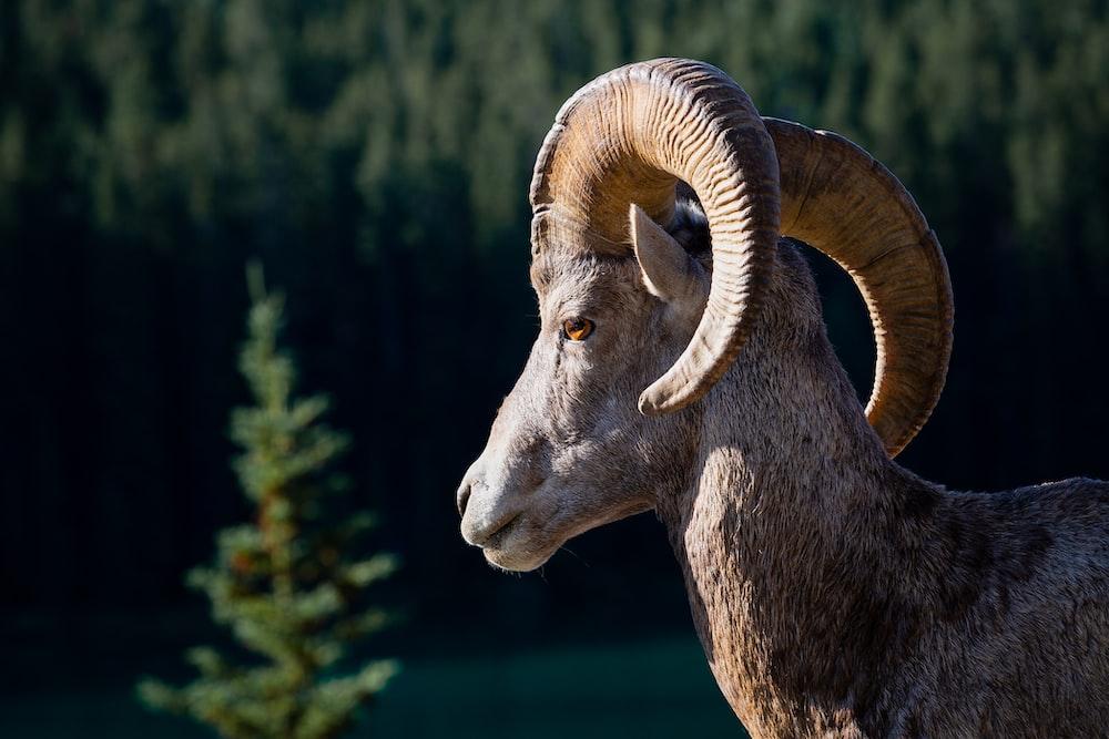 brown ram close-up photo
