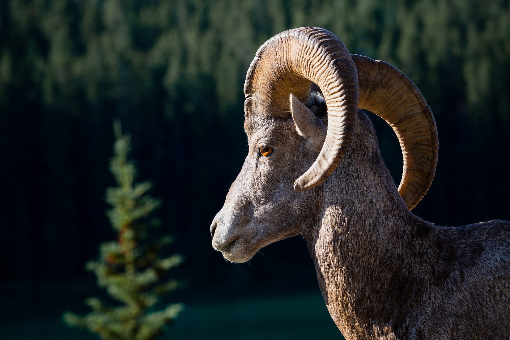 Nature Up Close: The Bighorn Sheep of Yellowstone