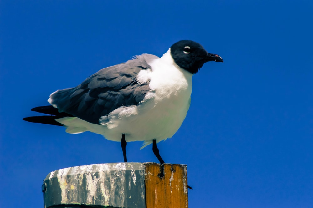 black and white bird on post