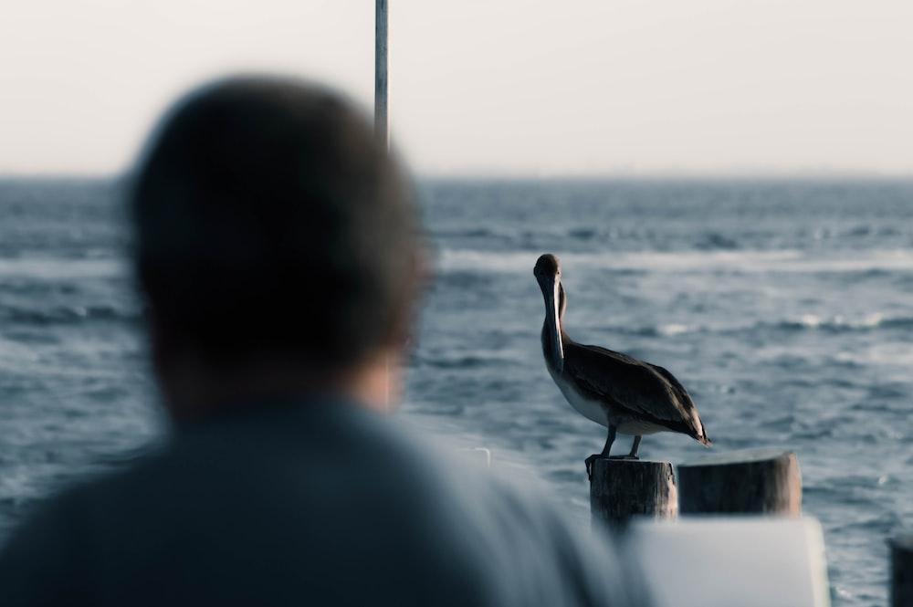 black and white pelican