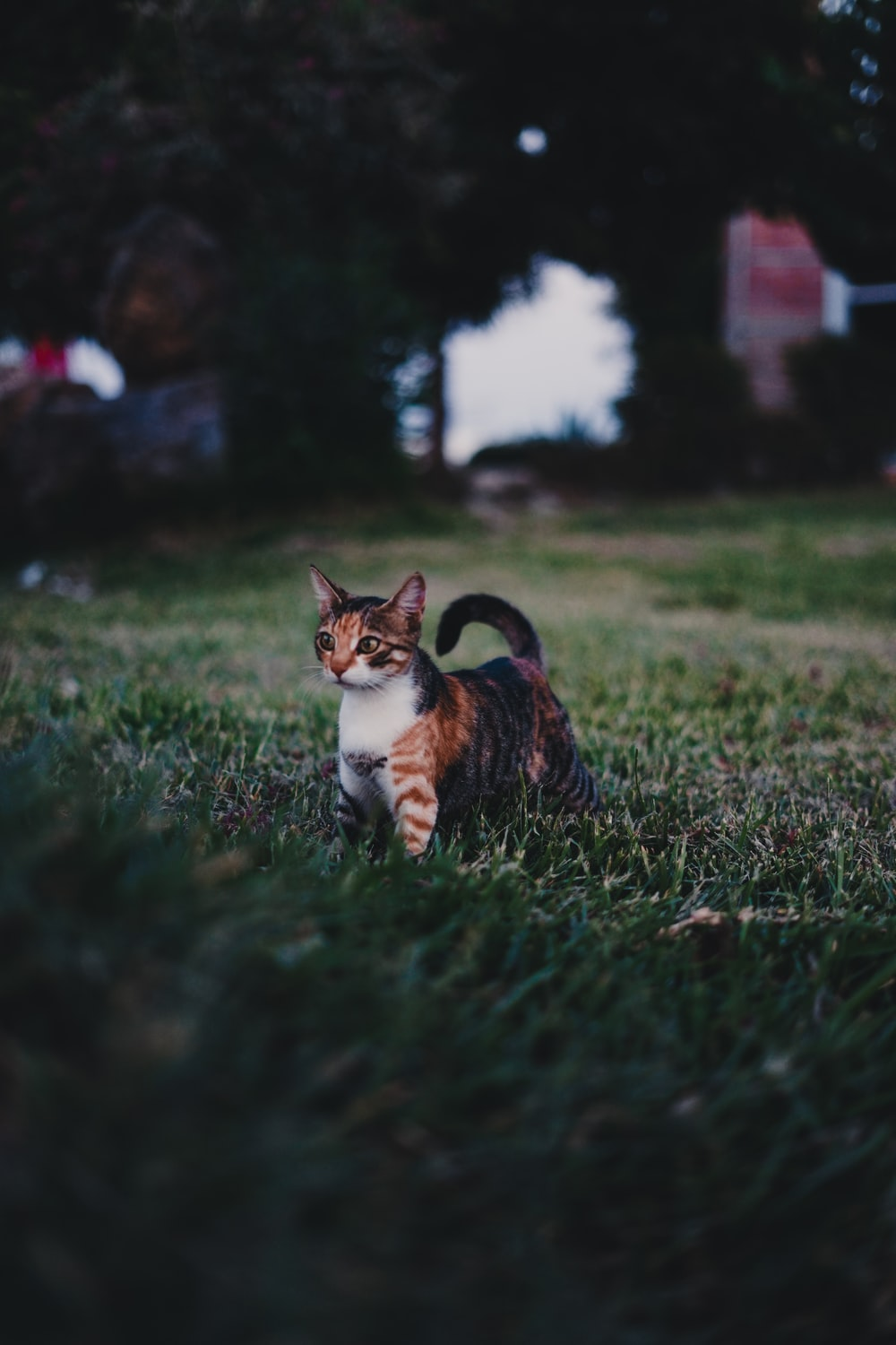 short-fur gray and orange cat on green grass during daytime