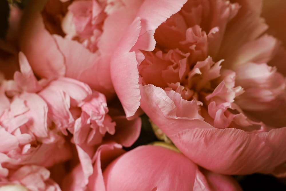 closeup photo of pink-petaled flowers