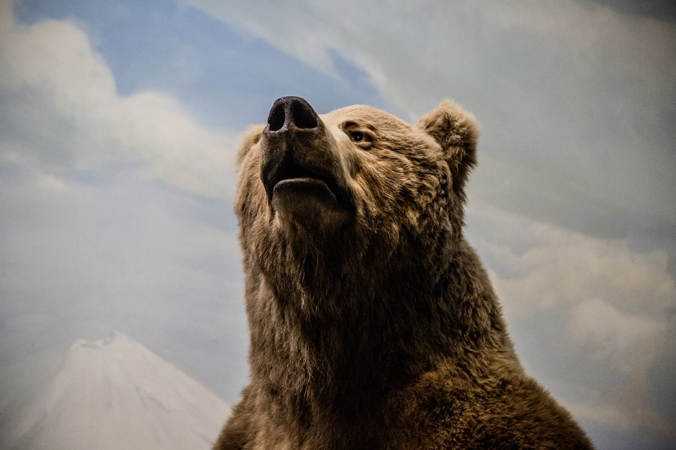 Grizzly Bear Death Rates Are Climbing