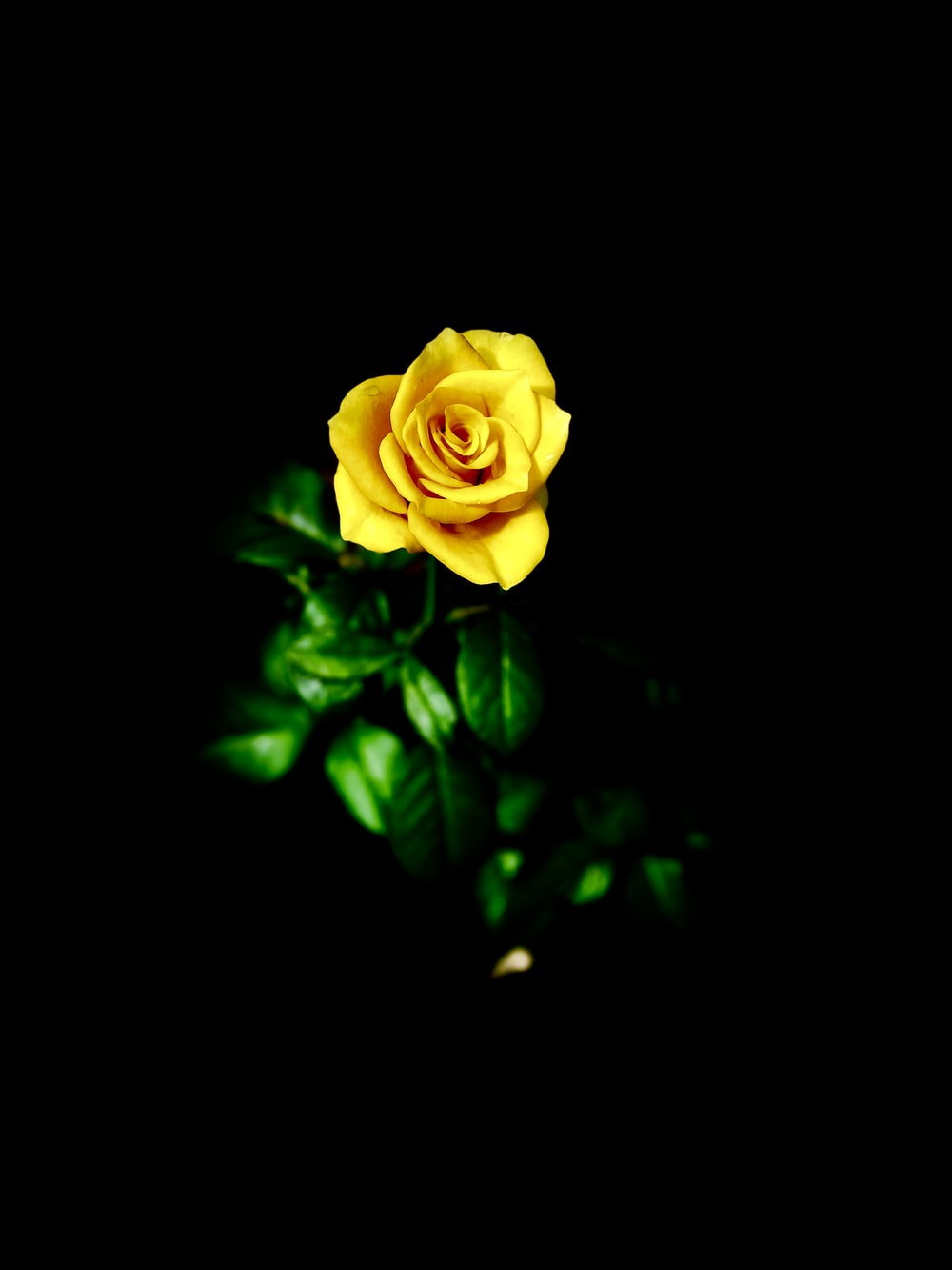selective focus photography of yellow rose flower in bloom