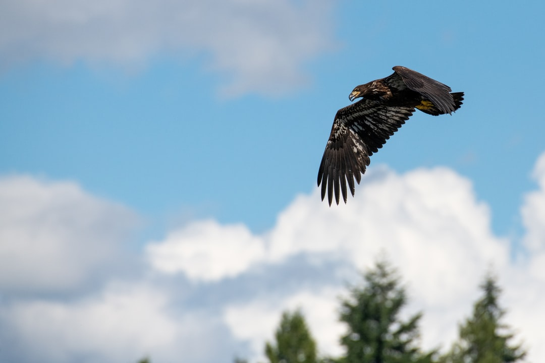 Juvenile Bald Eagle hunting