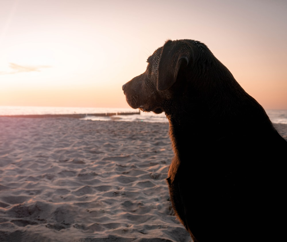 black short-coat dog at sunset
