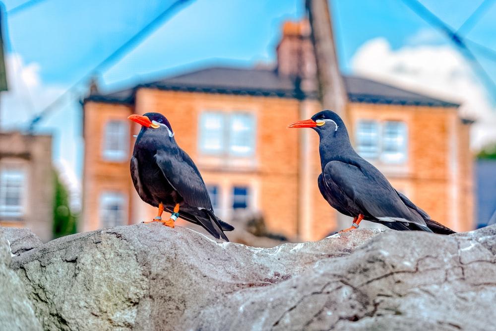 two black birds on rock