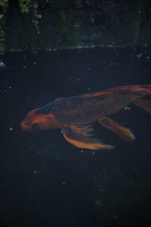 koi fish on pond