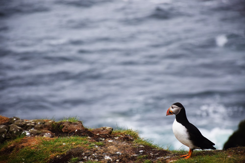 puffin bird standing on mountain cliff