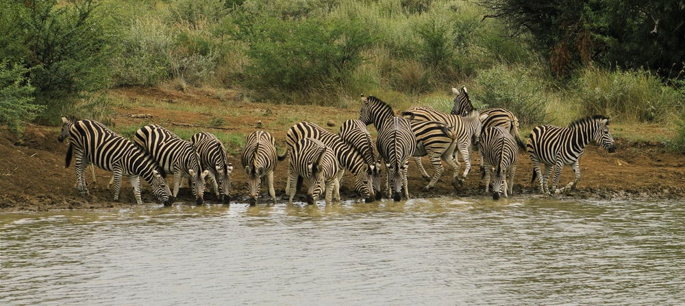 group of zebra standing near body of water during daytime