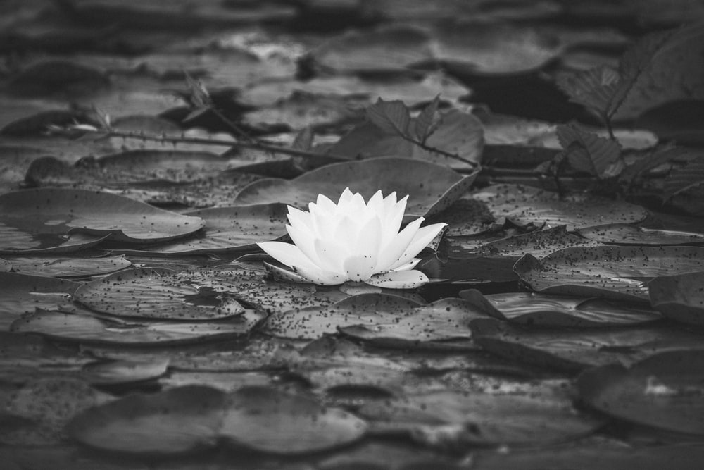 grayscale photo of water lily