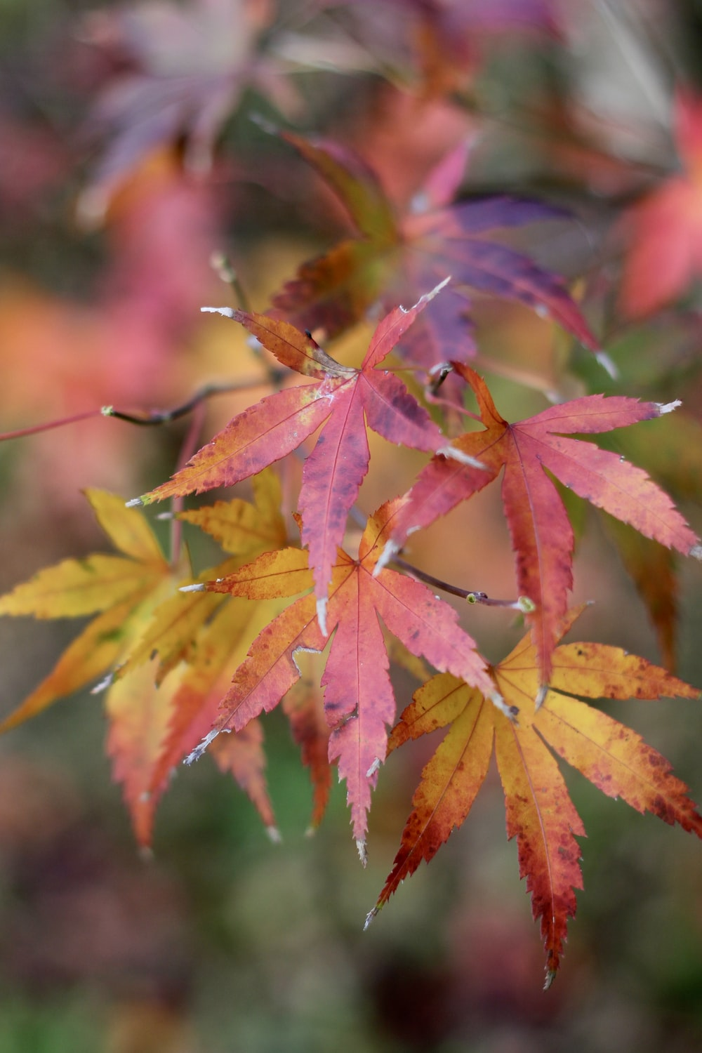 closeup photography of red maple tree