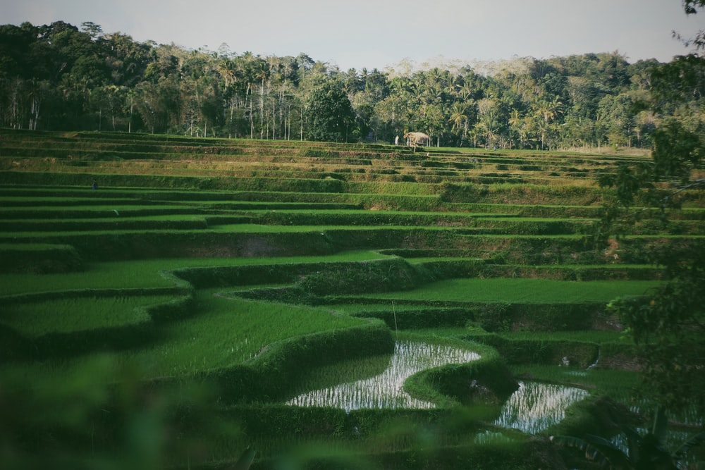 Best 100+ Paddy Field Pictures | Download Free Images on