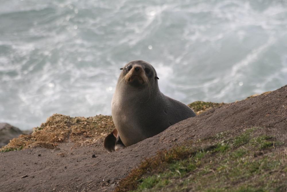 grey seal climbing up sloping beach