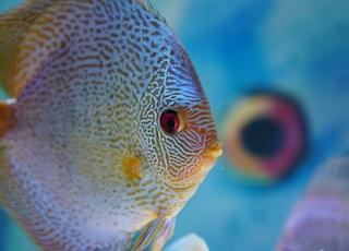 grey flat fish