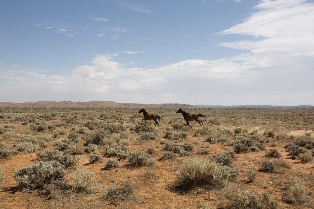 two brown horses near field