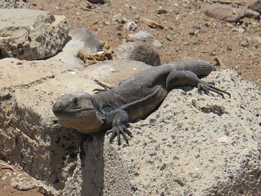 grey lizard