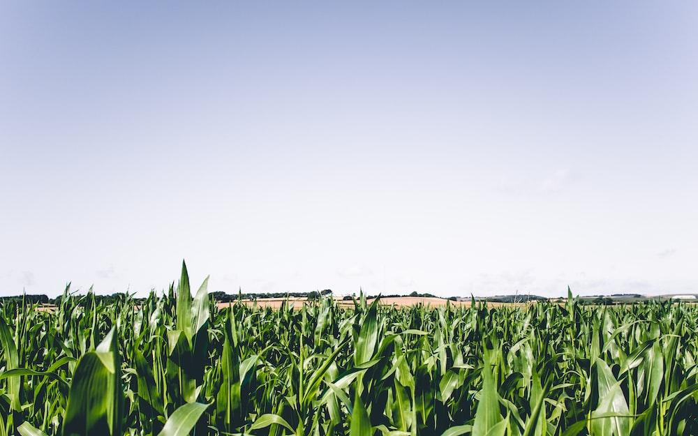 green corn plant