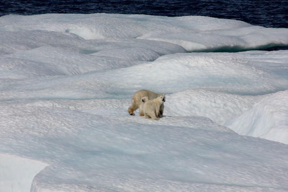 three polar bears on snow during daytime