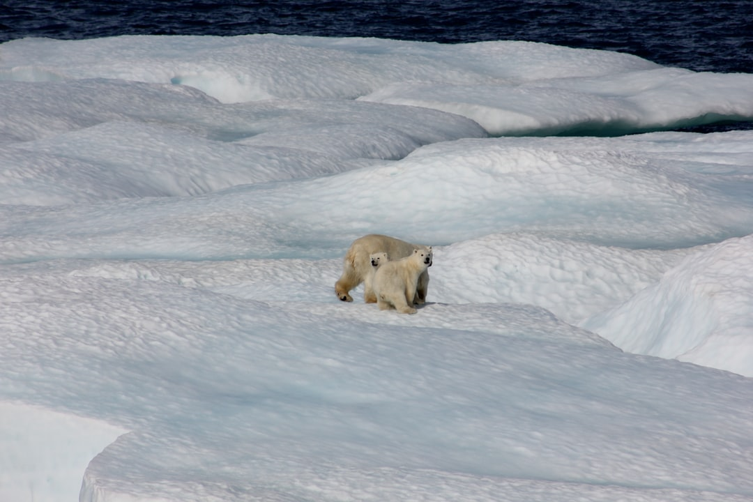 Polar bear and two cubs on ice floe.