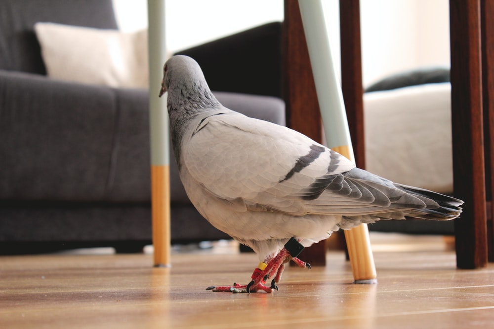 white and gray pigeon on floor