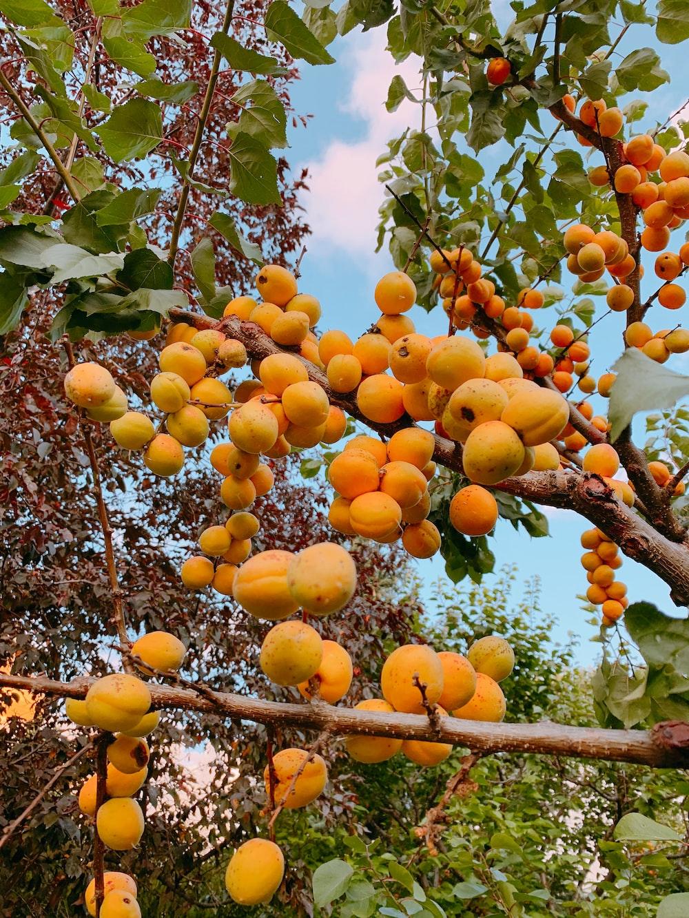 orange fruits