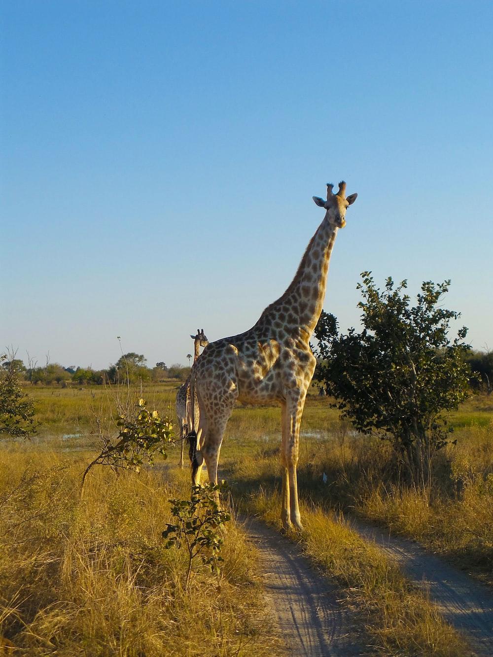 brown giraffe on focus photography
