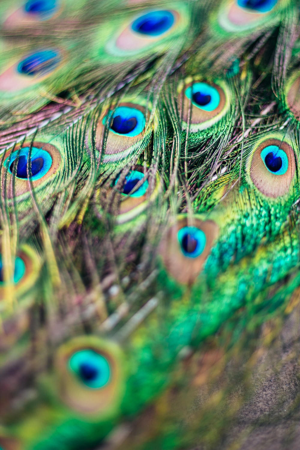 green, blue and brown peacock feather close-up photography