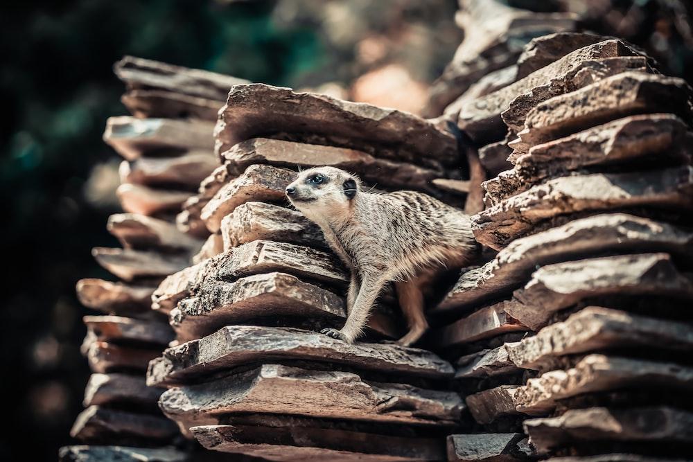 meerkat on rocks