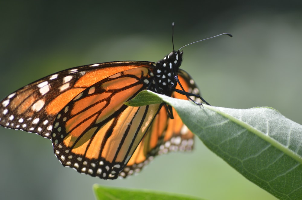 closeup photo of Monarch butterfly