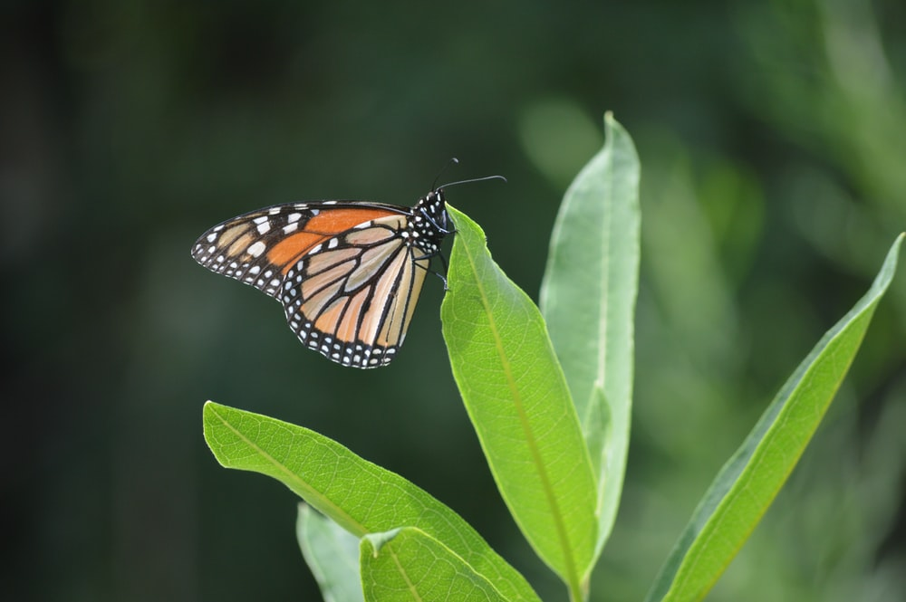 closeup photo of Monarch butterfly on green leaf plant