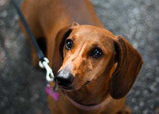 brown short-coated dog standin g