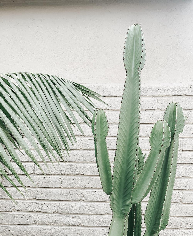 green candelabra cactus