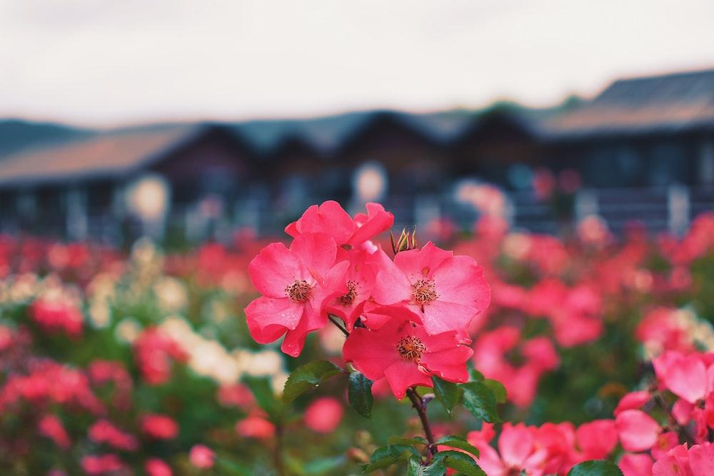 pink flowered plants blooming in garden