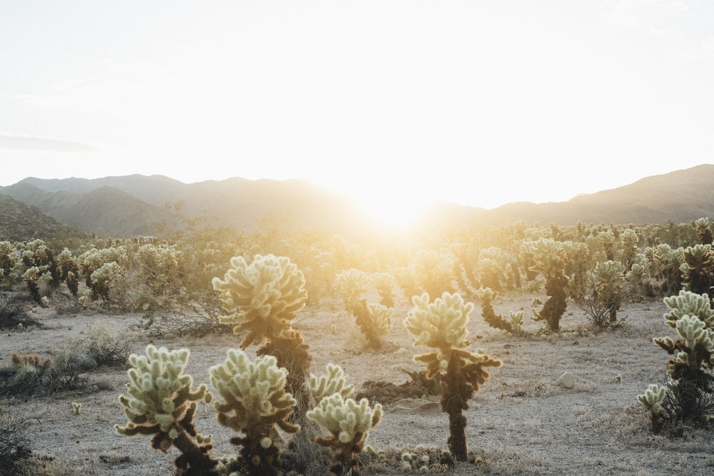 jumping cholla plants photo during sunset