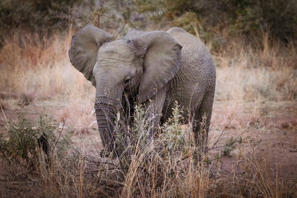 elephant calf on grass and soil field