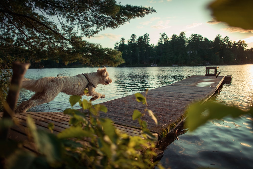 dog running on dock