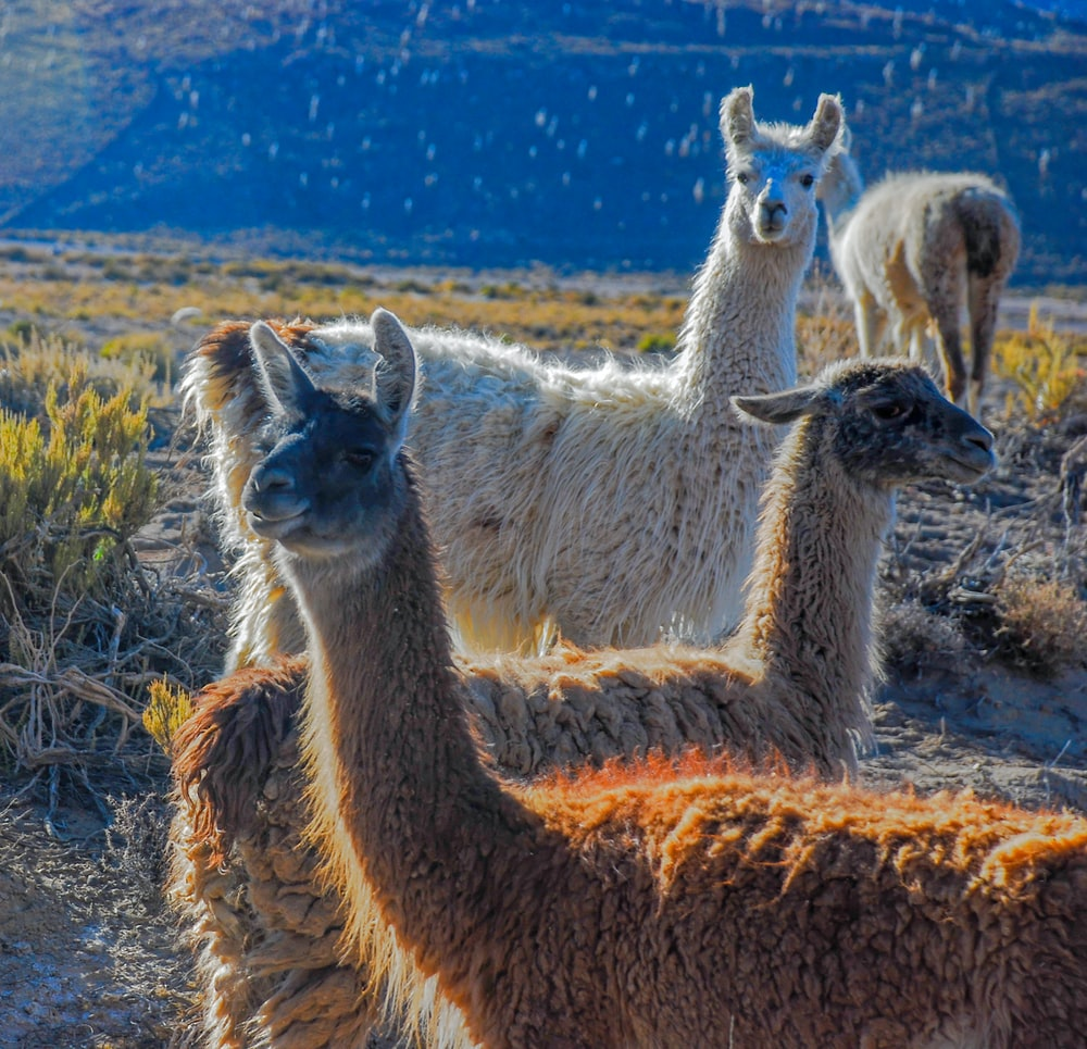 brown and white llamas on brown fields
