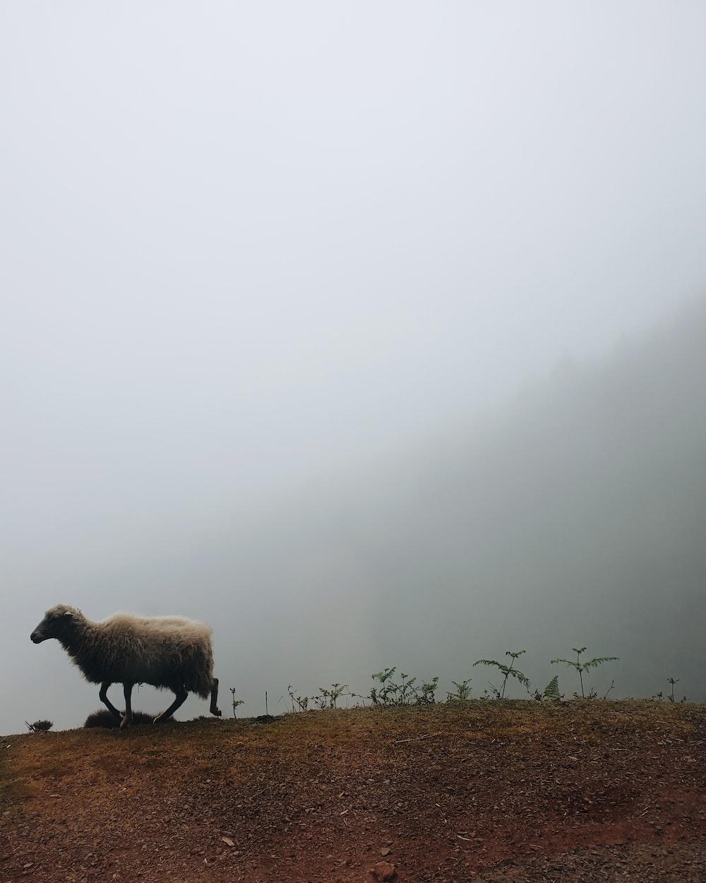 beige sheep on mountain