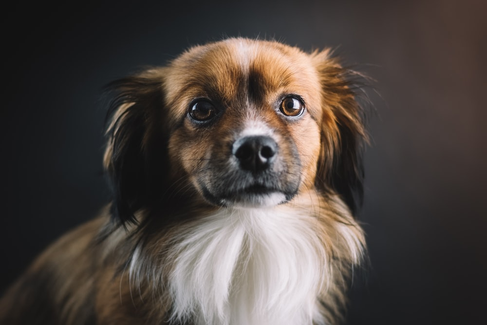 shallow focus photo of long-coated brown and white dog