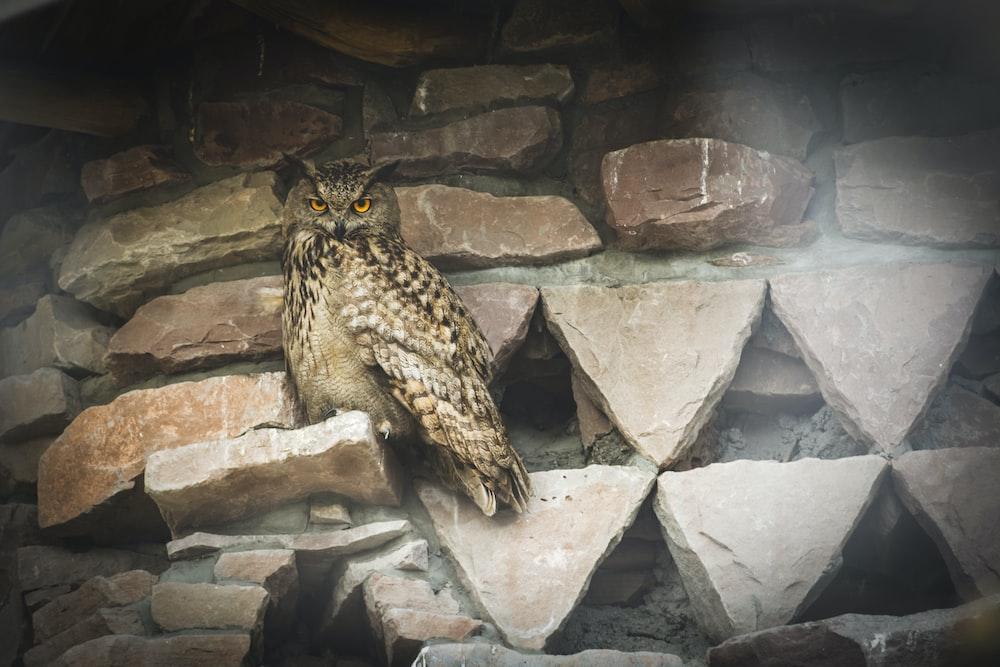 brown owl on rock