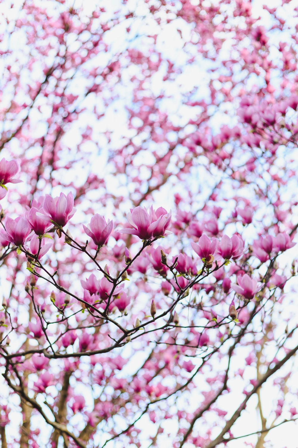 shallow focus photo of pink cherry blossoms