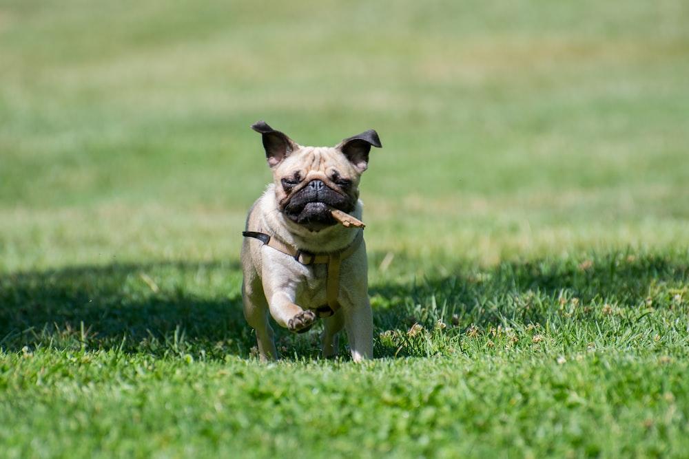 pug puppy running on grass