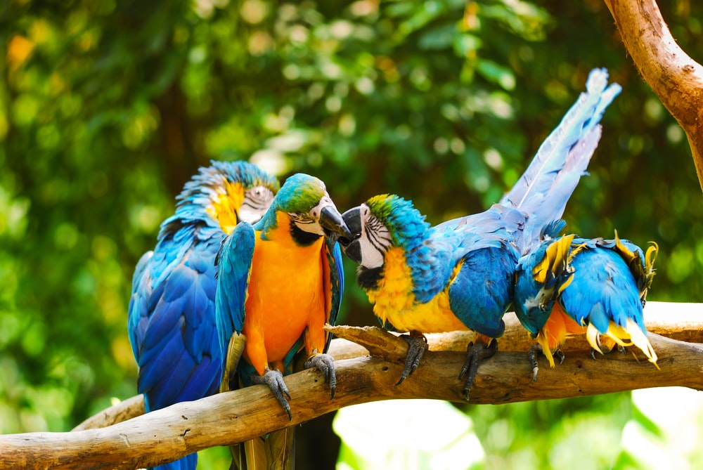 four macaws on branch
