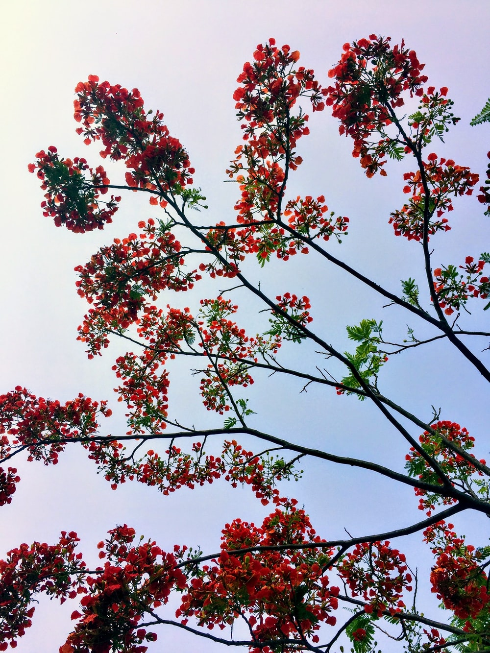 red-leafed trees